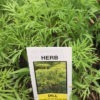 dill seedling