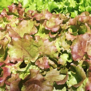 new red fire lettuce