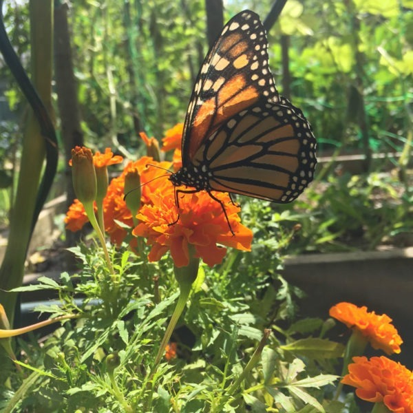 monarch butterfly on french marigold