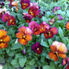Pansy, Mulberry Shades