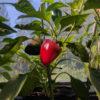 Pepper (Sweet), Lipstick Sheppard-Type Red