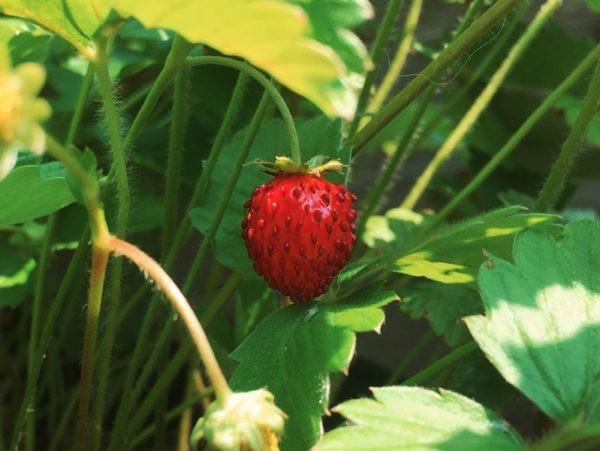 alpine strawberry