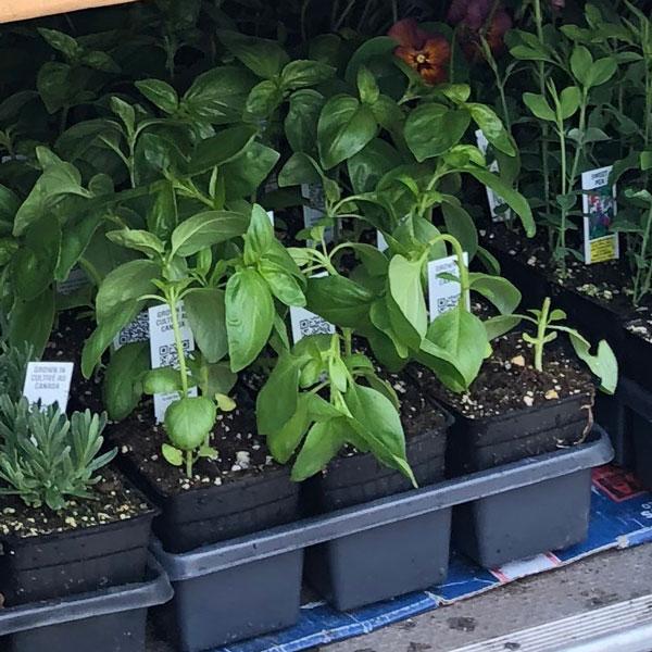 genovese basil seedlings