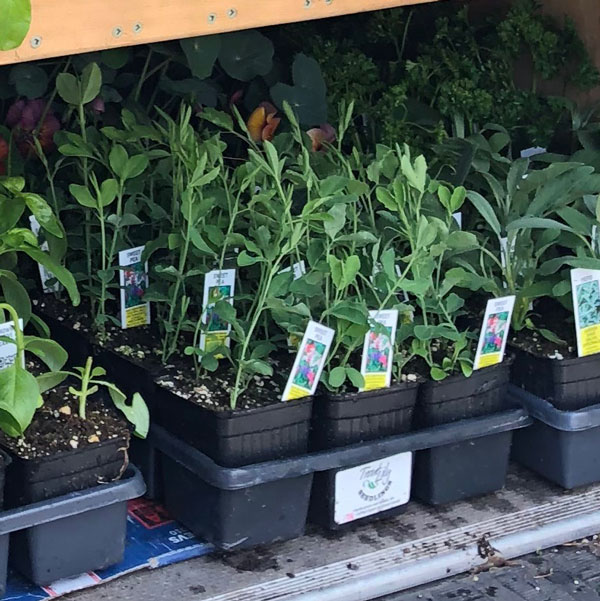 sweet pea seedlings